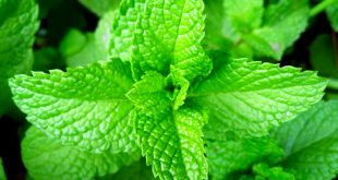 Peppermint - Weight Loss Diet to Lose Weight Fast