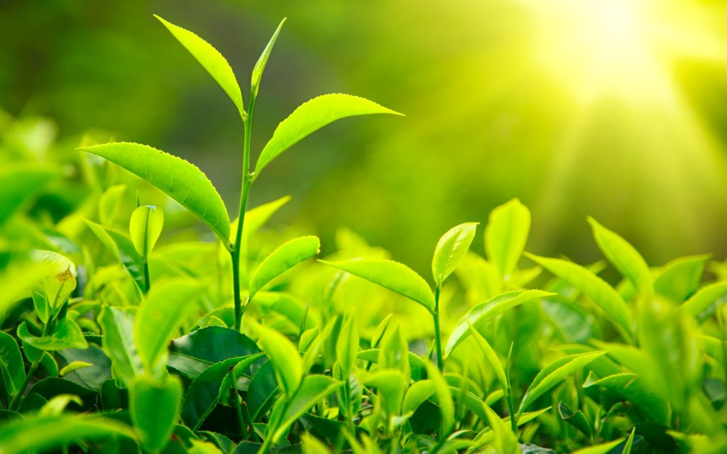 Green Tea Extract - Can Help With Weight Loss
